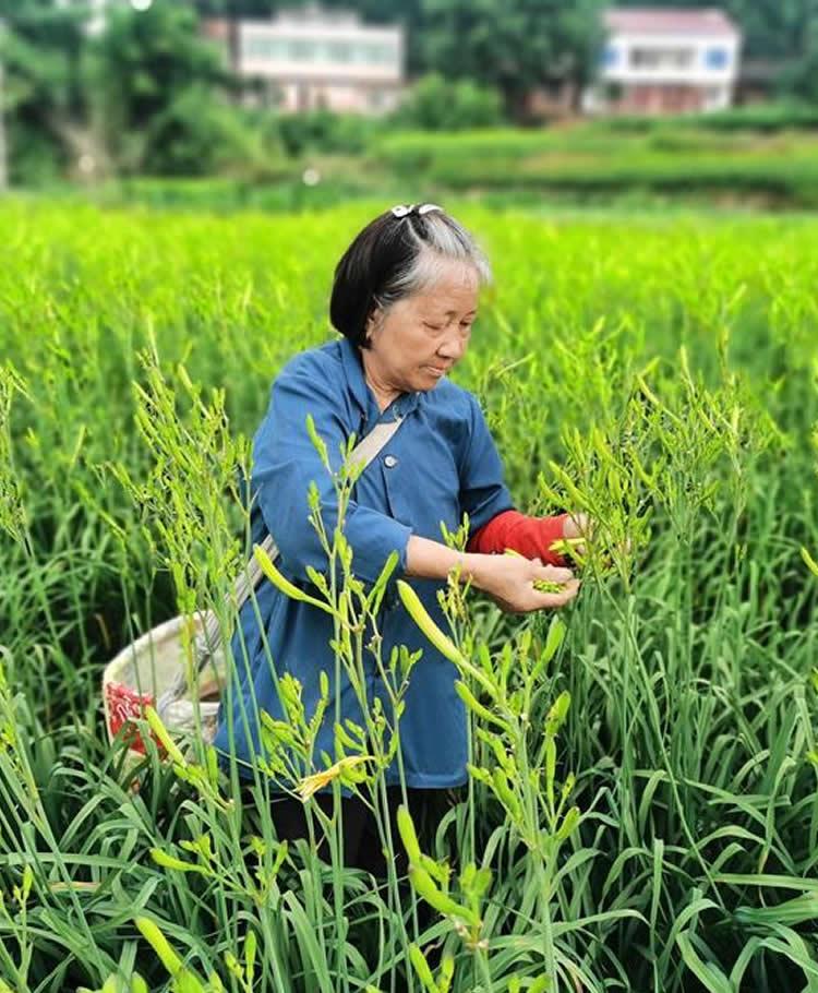"""新华网丨""""金扁担""""挑起""""忘忧草""""——一个贫困县的农业现代化探索"""