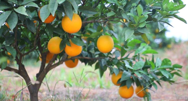 新田:脐橙丰收日 果农增收时