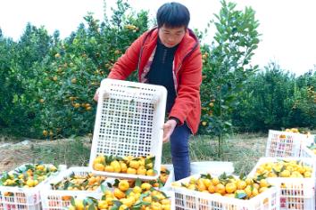 临武县秀水村:抢摘蜜橘保收成