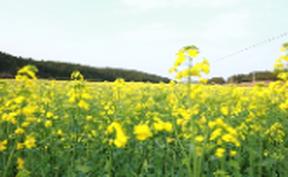 视频丨油菜花开春意美