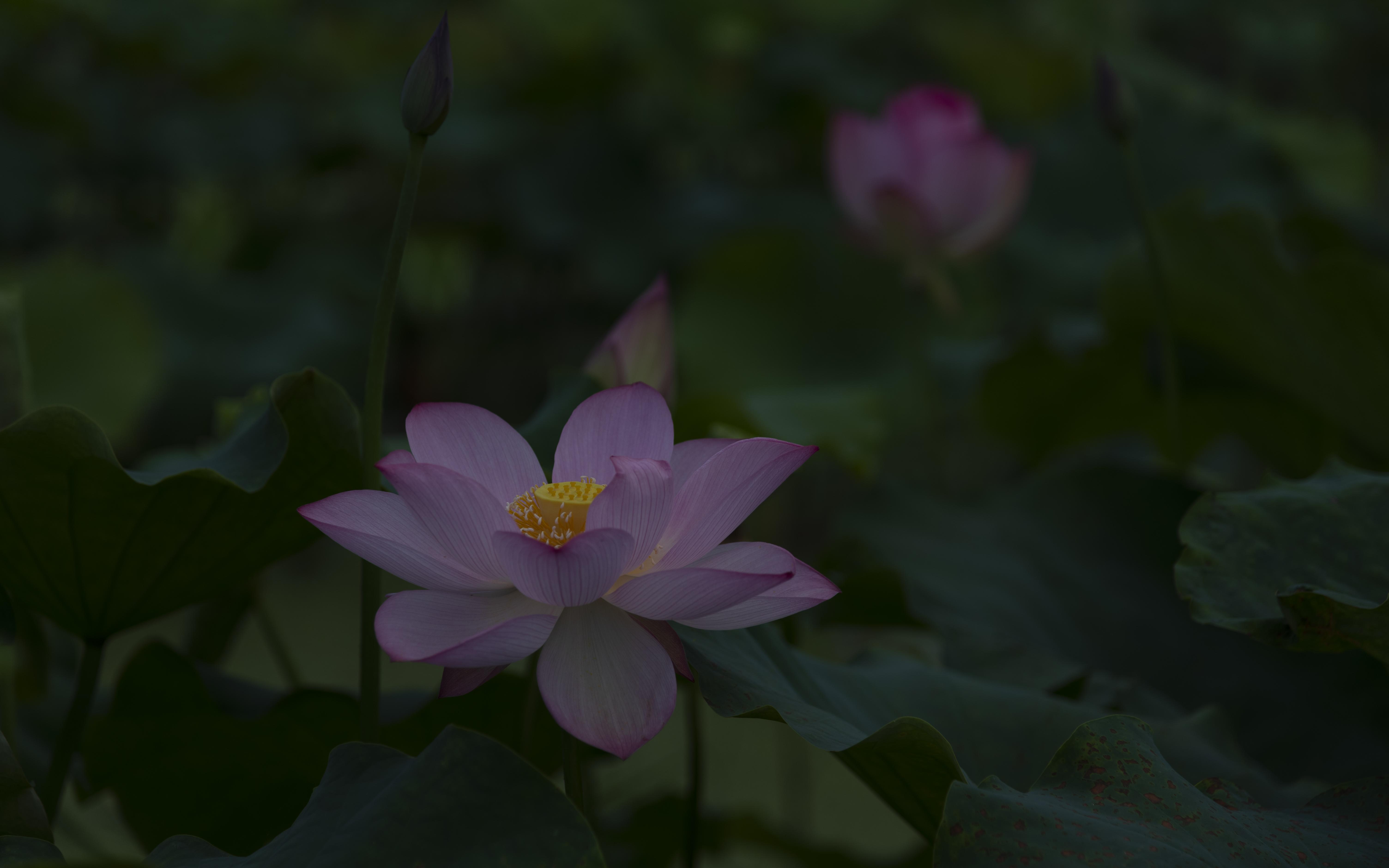 """近日,南岳景区水濂村近两百亩荷花园里的荷花进入观赏期,朵朵粉白把绿油油的荷田点缀得粉嫩清新,伴着夏日的清风,满池荷叶缱卷,层层叠叠的花瓣儿摇曳生姿,偶尔露出的暖黄色的花蕊,清香扑鼻,醉倒了前来采食的蜻蜓和蜜蜂。游人漫步栈道,或是举手自拍,或是戏水流连,尽情享受着这""""接天莲叶无穷碧,映日荷花别样红""""的写意乡村画卷。(周翔宇 摄影报道)"""