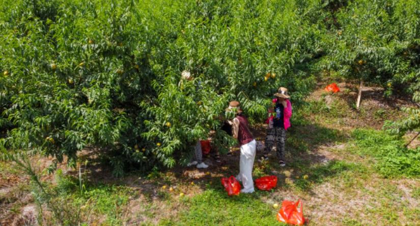 南岳:10万斤黄桃果飘香 群众增收笑开颜