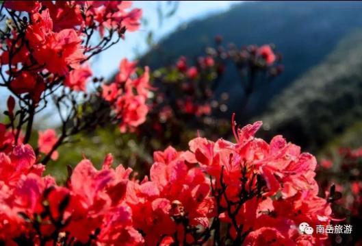 春风吹南岳,一路山花不负侬