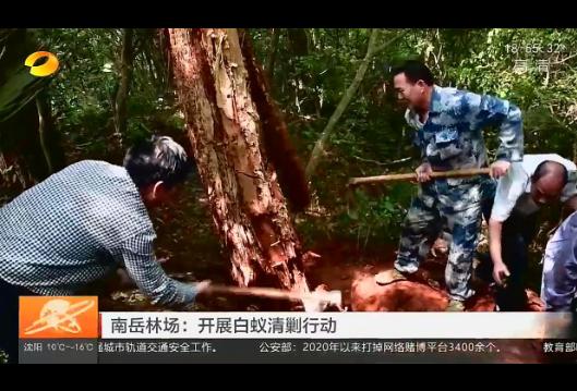 【湖南卫视】南岳林场:开展白蚁清剿行动
