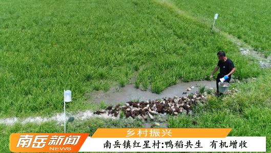 【乡村振兴】南岳镇红星村:鸭稻共生 有机增收