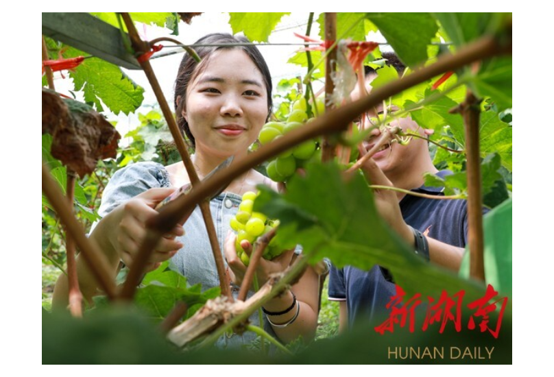 南岳:葡萄丰收香满园 乡村振兴添活力