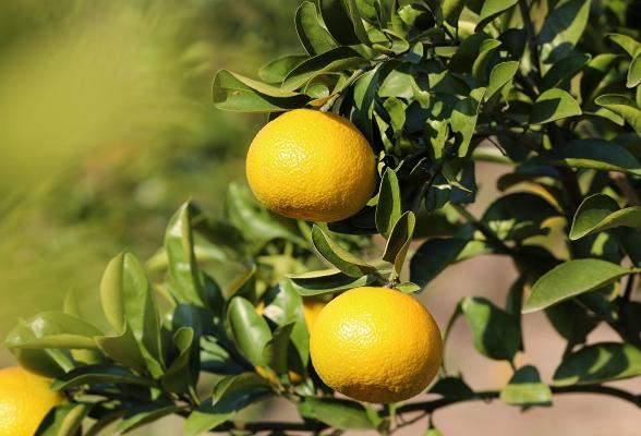 乡村振兴 珠晖:600余亩橘柚甜蜜采摘
