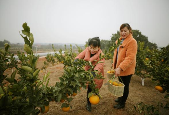 出发!珠晖区这里600亩橘柚熟了!等你来摘