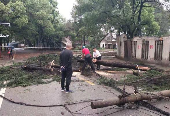 暴雨骤降致枯树倒塌 苏洲湾社区紧急行动保障居民出行安全