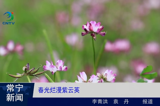 春光无限 紫云英烂漫竞芬芳