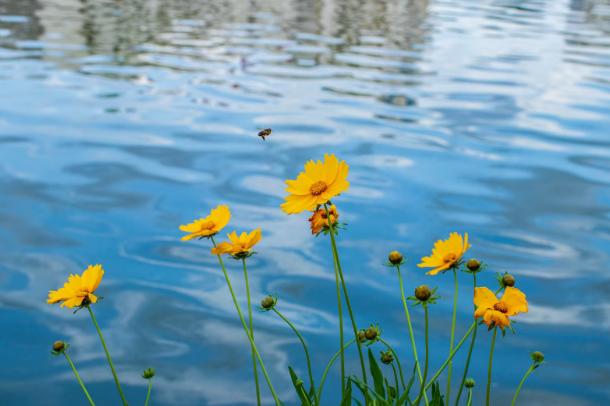 【摄影作品】迎夏美了金鸡菊