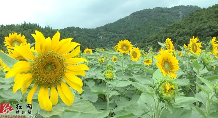 靖州:47亩向日葵花海本月11号向市民开放