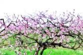 继网开来 链动怀化丨新晃:三月花,七月桃,花果飘香惹人醉