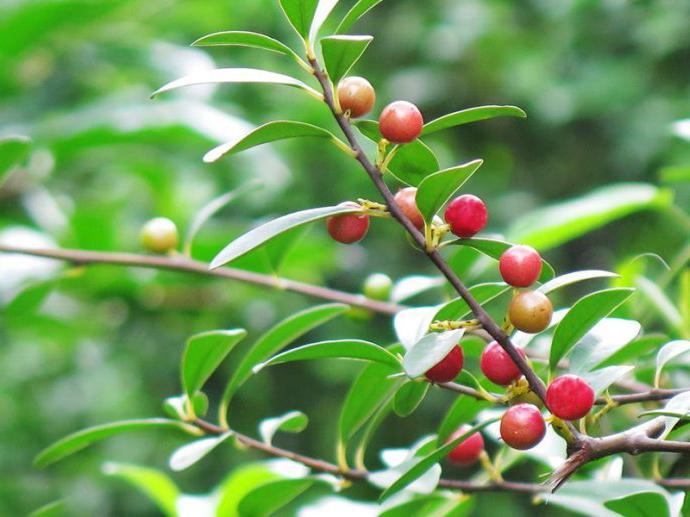 野果树2.jpg
