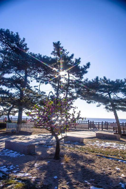北戴河海滨的松树副本.jpg