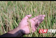 视频丨金黄遍野,大地丰收