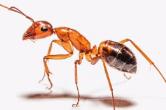 当心!红褐色蚂蚁不可小视