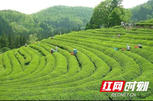 产业发展看湘西丨茶乡古丈打造茶旅融合新地标