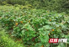 """泸溪县且己村:小菜园""""种""""出小康来"""