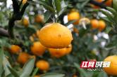 石门橘子红 助力小康梦——记中石油湖南销售分公司扶贫助农行动