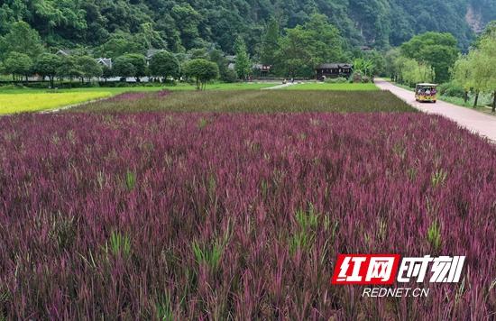 张家界黄龙洞景区:生态稻田 绿意铺展美如画