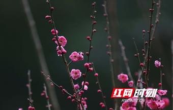 组图丨张家界黄石寨景区:梅香小寒