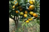 石门橘农田宠协:25年坚守  育出越冬柑橘新品种获国家登记