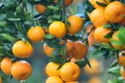 石门柑橘节入选中华优秀节庆推荐目录