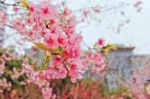 云赏花 | 如果不能去武大看樱花,那么就别辜负眼前春景