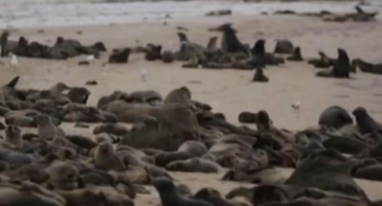 数千海豹幼崽尸体惊现纳米比亚海岸