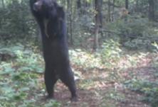 罕见画面曝光 可爱小黑熊遭东北虎猎杀