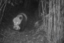 罕见!野生大熊猫叼着幼崽在竹林穿行