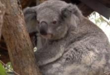 澳大利亚一州考拉恐在2050年前灭绝