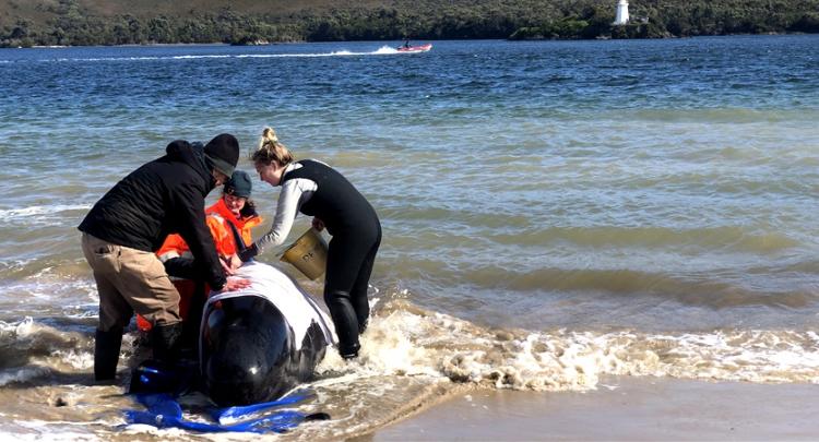 澳大利亚再发现200头鲸搁浅 搁浅鲸增至470头
