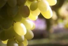 新疆最晚熟的葡萄熟了 糖度高达24.1%