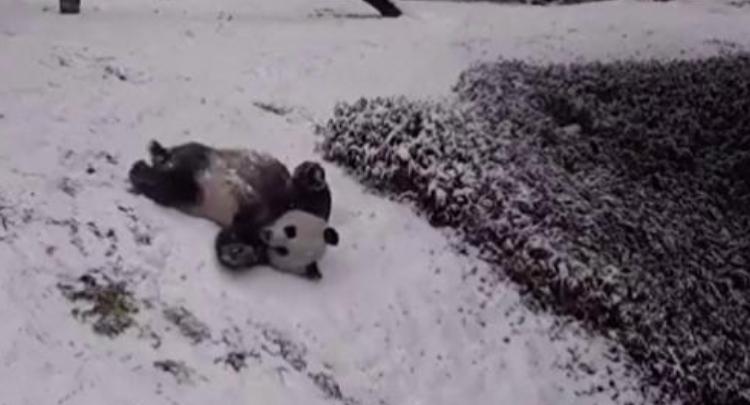 """高萌!旅美大熊猫""""美香""""和""""添添"""" 雪中作乐超顽皮!"""