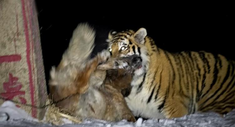 野生东北虎猎食家犬 被近距抓拍