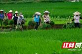 怀化黄溪:山区季节晚 夏日插秧忙