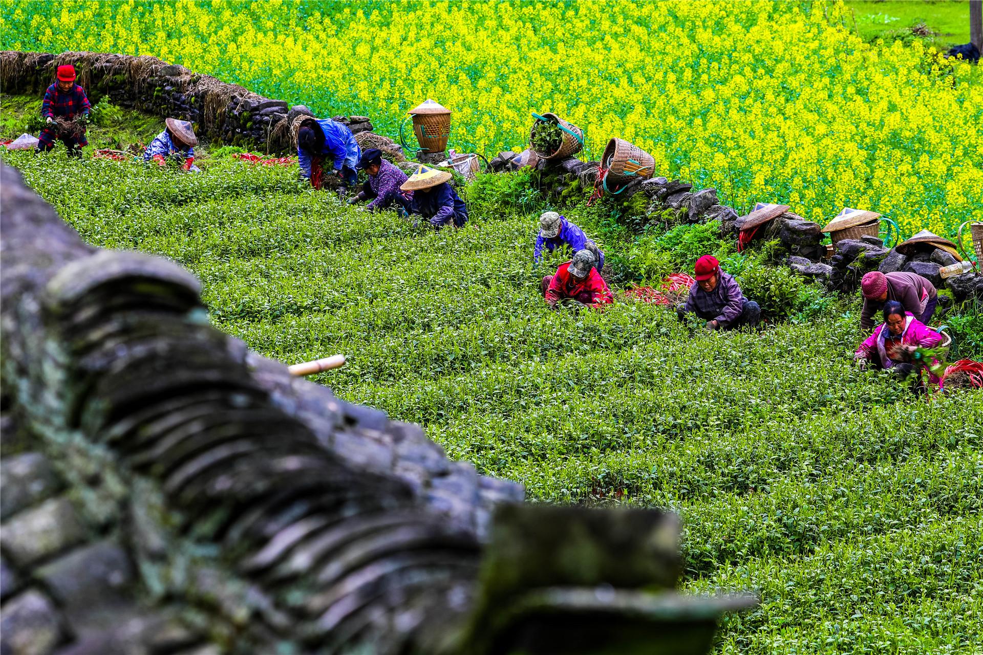 2021年3月1日,湖南湘西凤凰县筸子坪镇盘瓠村茶叶育苗基地,村民在捆绑茶苗,准备销售。当下,各类苗木迎来销售旺季,苗农抢抓时节,采挖苗木,供应市场。