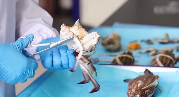 螃蟹死了还能吃吗?实验显示大闸蟹死后2小时菌落总数激增
