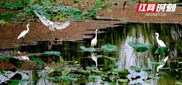8月26日,一群白鹭在永州东安县芦洪市镇树德景区里上下翻飞嬉戏。(郭磊 摄)