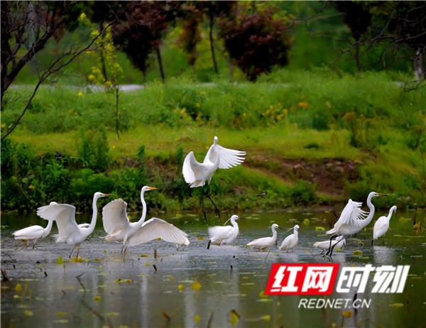 清明节来临,气温抬升雨水多,正是鸟儿最欢乐的时期。4月1日,在永州江永县田野里一群白鹭正在觅食,它们或群起群飞、或成双成对、或独享自由,给春日的江永增添了勃勃生机。(黄海)