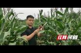 """桃江:3元一根的小籽黑玉米成了农民增收的""""金棒棒"""""""