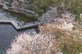 樱花烂漫 春色满园