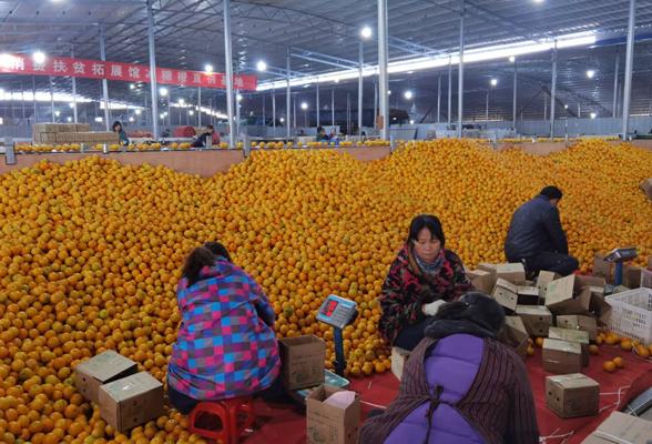"""""""橙""""风破浪""""邮""""力量——怀化邮政积极助力柑橘销售"""