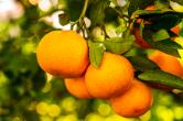 组图丨@所有人 石门橘子红了