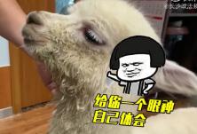 视频 | 羊驼来长沙水土不服 主人:它不会吐我口水吧?