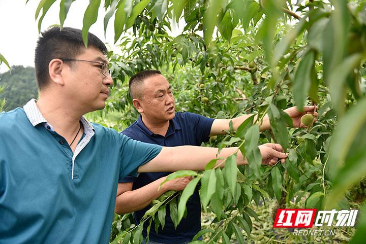 村集体产业黄桃丰收在望.jpg