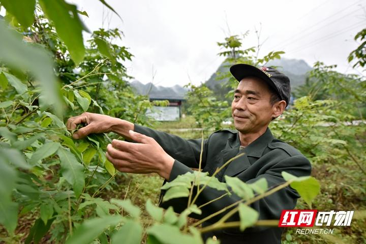 4、贫困户熊宋正在采摘自家的青钱柳茶叶,他已经有了3年种植经验。_副本.jpg