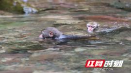 猕猴戏水觅清凉